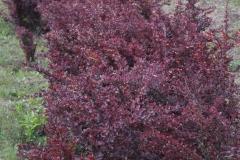Berberys purpurowy.jpg